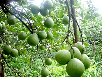 Để chữa bệnh gan nhiễm mỡ, nên hái quả bưởi còn non.