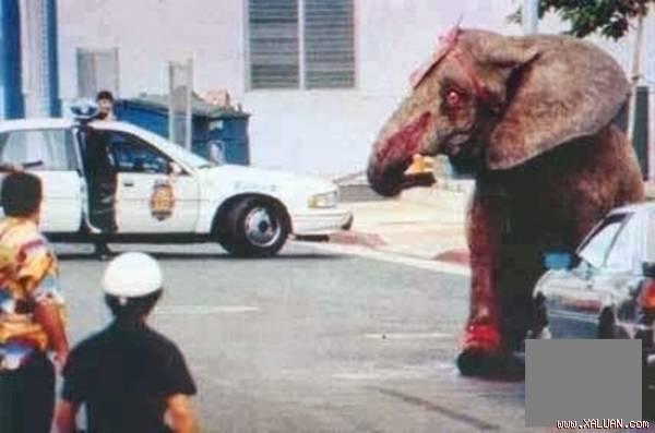 Bức ảnh gây ám ảnh nhiều thế hệ về đôi mắt tuyệt vọng của chú voi sau khi bị bắn gần 100 phát đạn