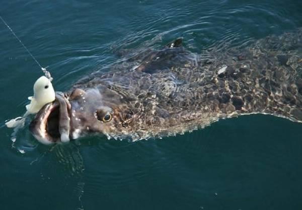Một sinh vật biển khổng lồ được cần thủ Na Uy vô tình câu được (Ảnh: Doug Olander)