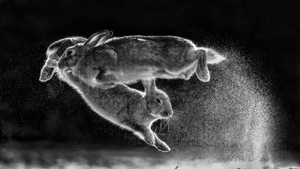 Bức ảnh động vật ấn tượng ghi cảnh cặp thỏ vui đùa với nhau trên tuyết được chụp bởi nhiếp ảnh gia Csaba Daróczi đến từ Hungary.