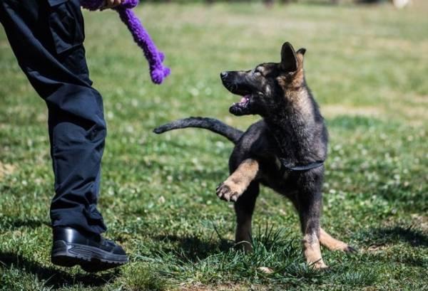 Con chó cảnh sát nhân bản đầu tiên của - Kunxun, chơi với một huấn luyện viên tại Căn cứ Chó Cảnh sát Côn Minh ở Côn Minh, tỉnh Vân Nam, Trung Quốc. Ảnh: Tân Hoa Xã.