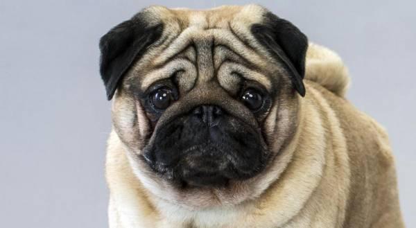 Sự thật về loài chó Pug, đằng sau vẻ dễ thương là tấn bi kịch mua vui cho loài người