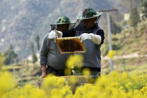Người nuôi ong kiểm tra tổ ong ở một trang trại tại tỉnh Quý Châu, Trung Quốc năm 2018. Ảnh: Reuters.