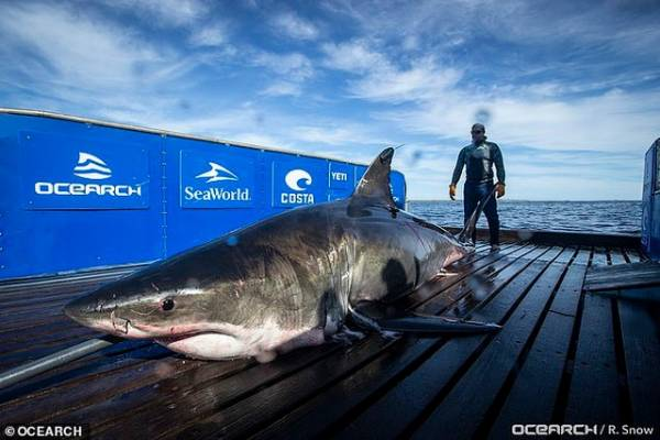 Sharks weighing nearly 1 ton swim more than 1,100 km to avoid mating